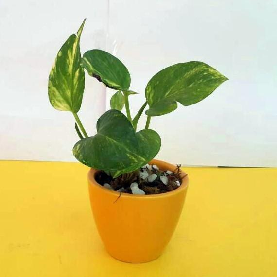 G23 - Money Plant + V Shaped Ceramic Pot