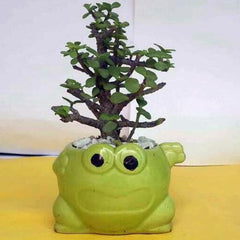 G66 - Mini Jade Bonsai