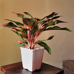 E03 - Exotic Green Red Aglaonema Indoor Plant