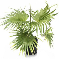 China Fan Palm