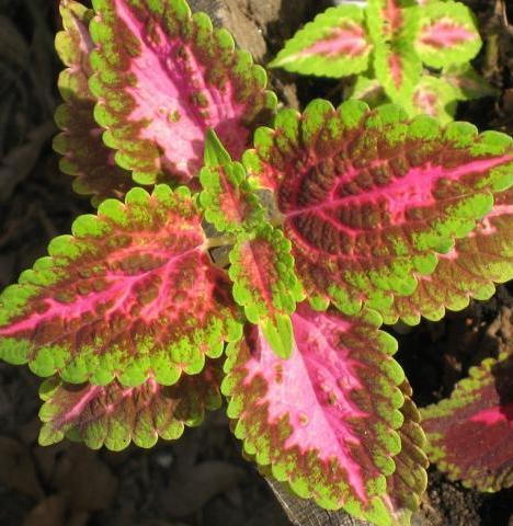 P16 - Coleus Pink Green Mix