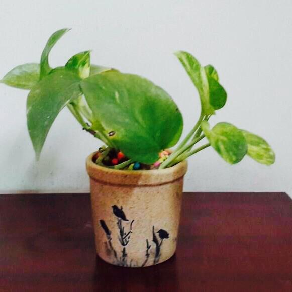 G37 - Money Plant + Tumbler Ceramic Pot