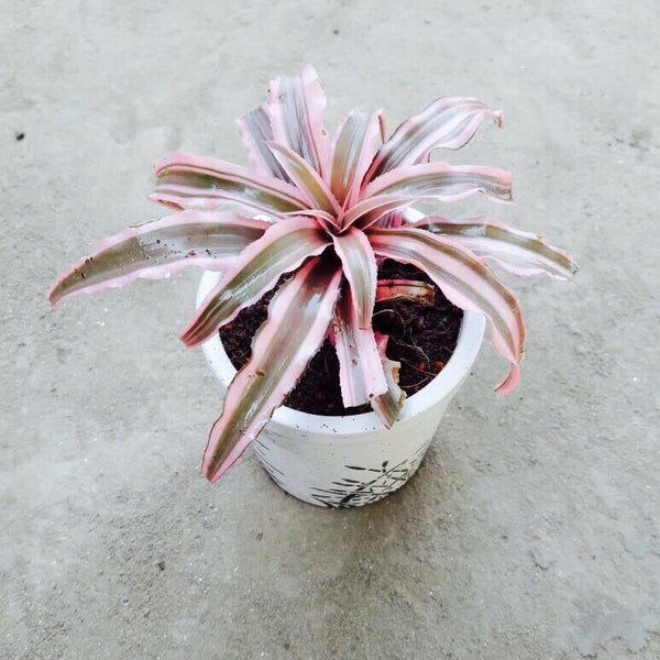 Star Pantus Pink - Ceramic Pot 4
