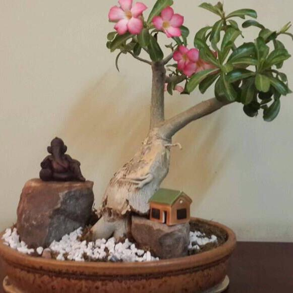 G32 - Adenium Bonsai Miniature Garden