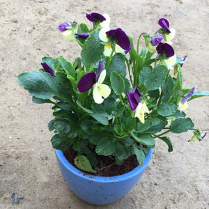 P13 - Pansy Flower