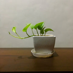 G34 - Money Plant + White Square Pot