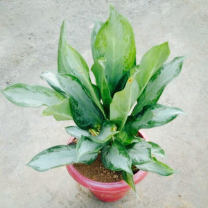 Chinese Evergreen Crafted (Aglaonema)
