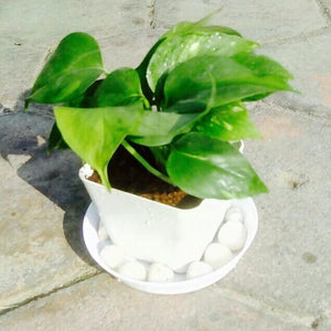 G14 - Money Plant Gift + White fiber pot