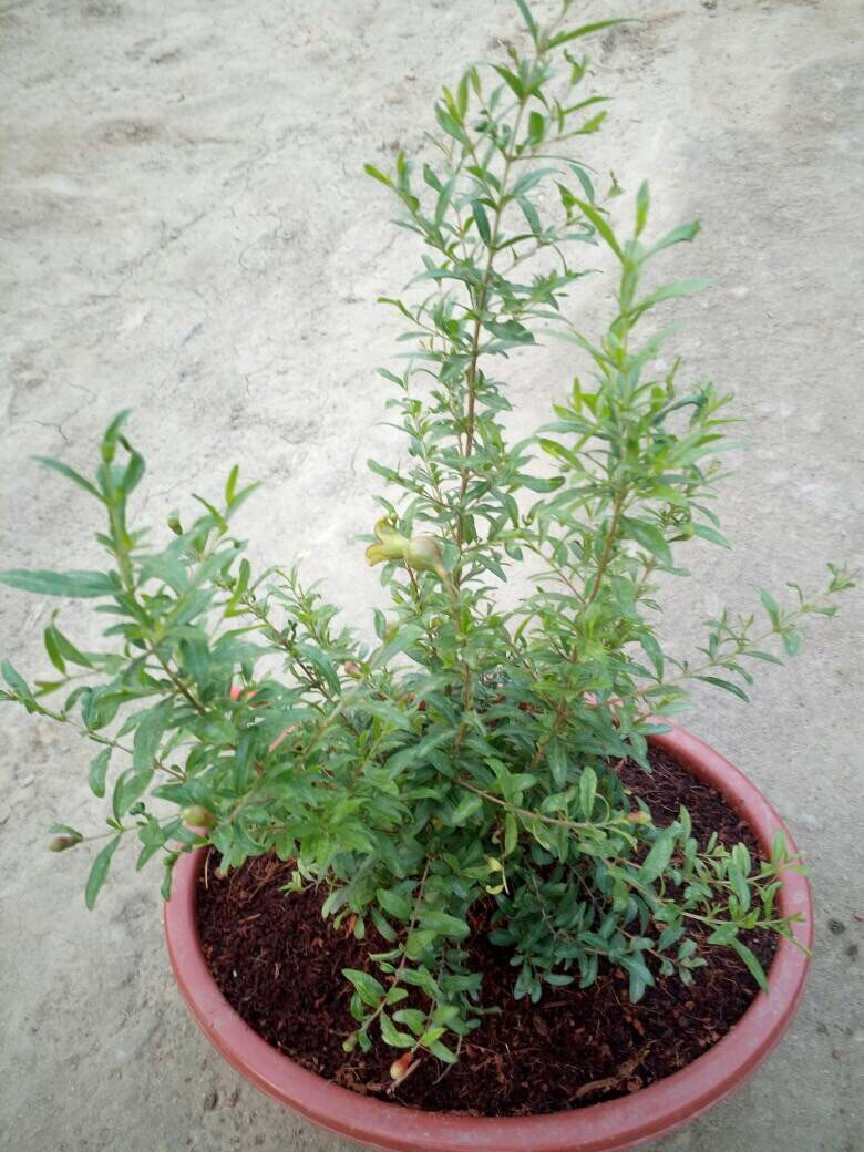 Anar Bonsai