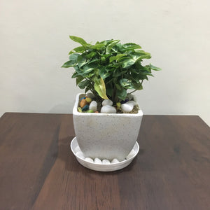 G08 - Dwarf Syngonium + White Square Pot