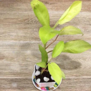 G03 - Golden Pothos + White Plastic Pot 2.5""