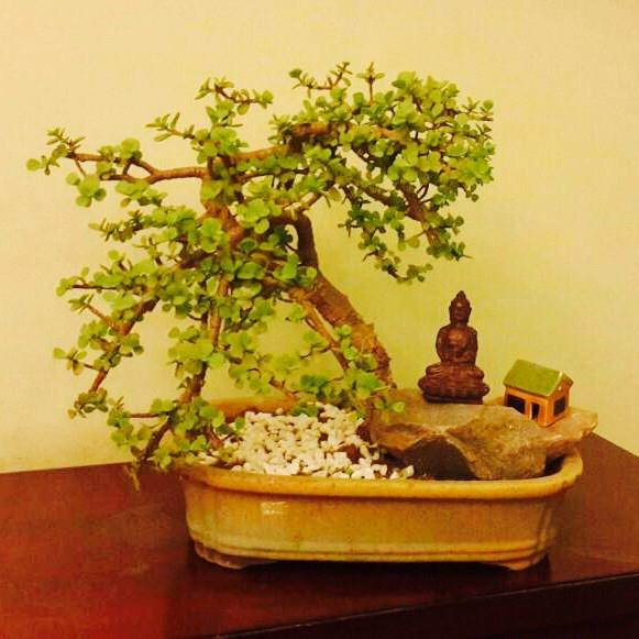 G19 - Mini Tree Jade Plant (8 Year Old)