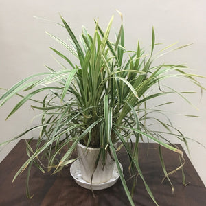 G09 - Spider Plant  + White Round Ceramic Pot