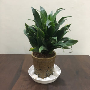 G05 - Dracaena Compacta Plant + Brown Ceramic Glass