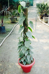 Money Plant (with Stick)