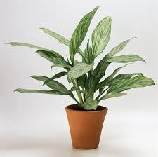 Chinese Evergreen (Aglaonema)
