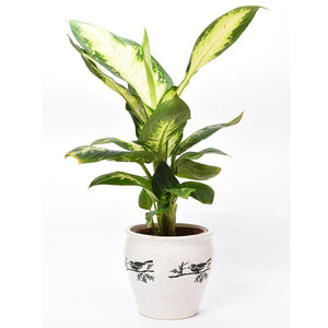 E05 - Exotic White Aglaonema Indoor Plant