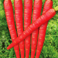 Carrot Dark Red Hybrid Seeds