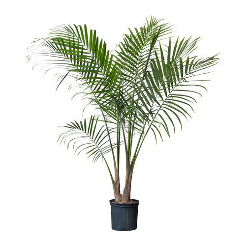 Ravenea (Majesty) Palm