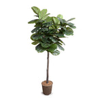 Fiddle Leaf Fig Tree 6.5' Standard