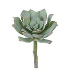 Sword Leaf Echeveria Succulent Large