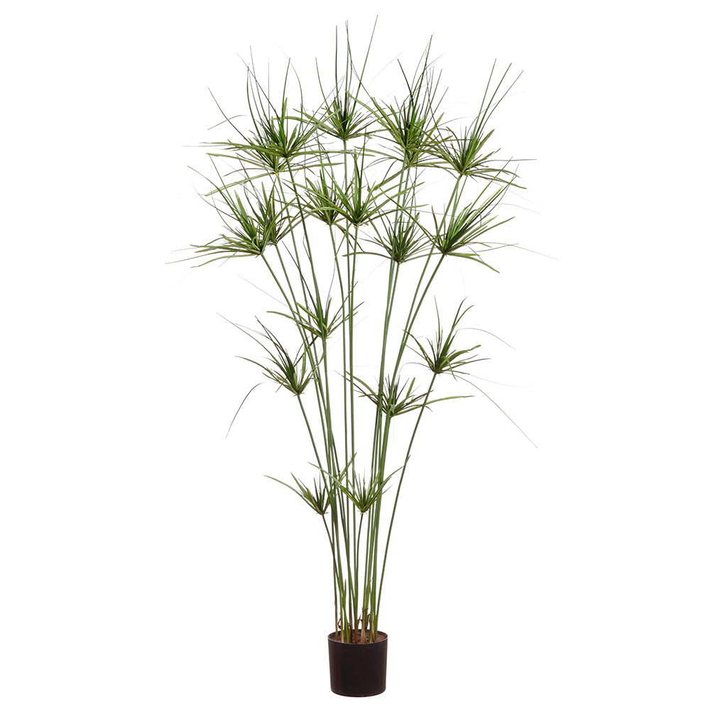King Papyrus Grass Potted