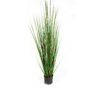 Horsetail Grass Potted