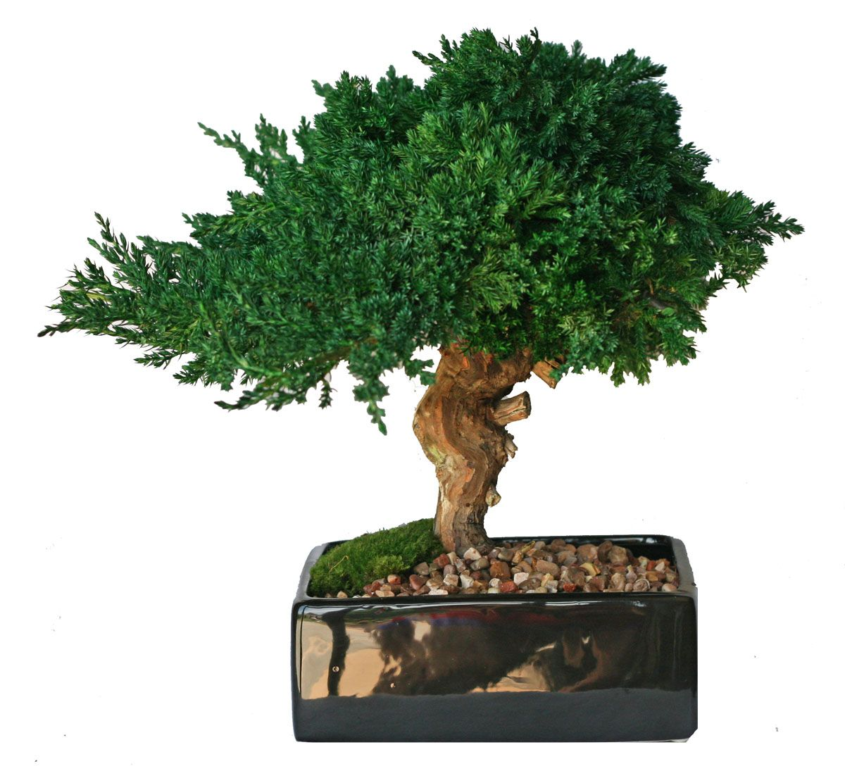 Preserved Bonsai Single
