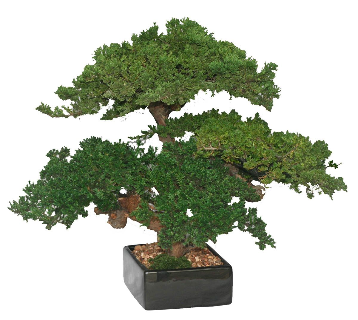 Preserved Bonsai Triple