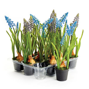 Grape Hyacinth Drop-In 9.25""
