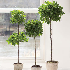 Ficus Double Topiary in Pot 31""