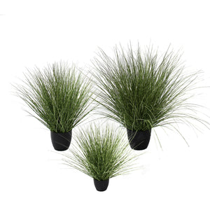 Spotted River Grass Potted