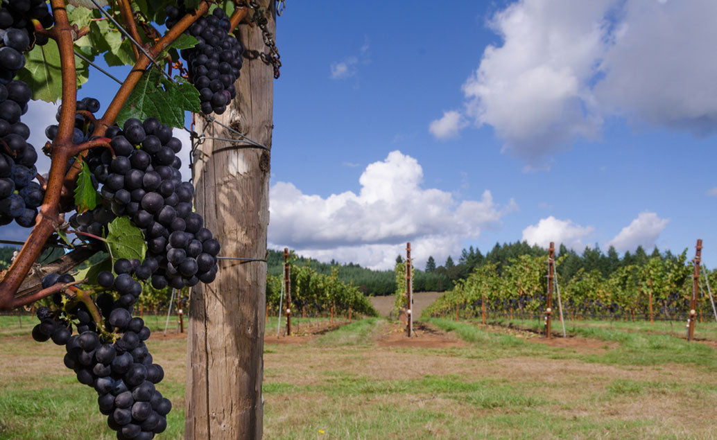 grape vines with vineyard in the background