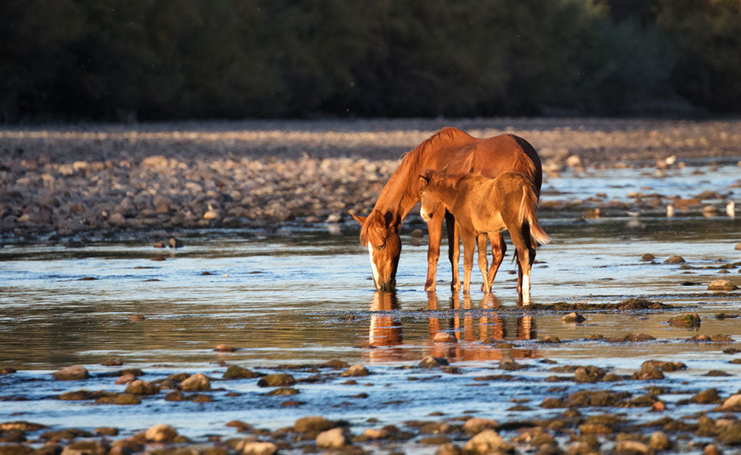 Horses drinking from river