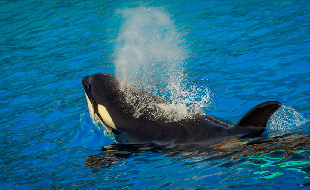 killer whale spouting water from blow hole