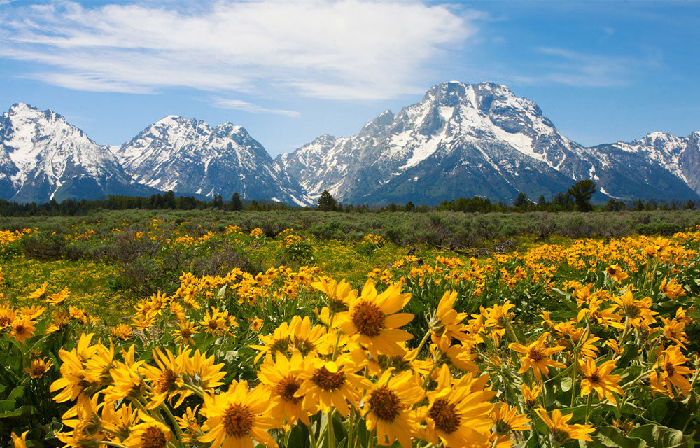 mountain range with sun flowers in foreground