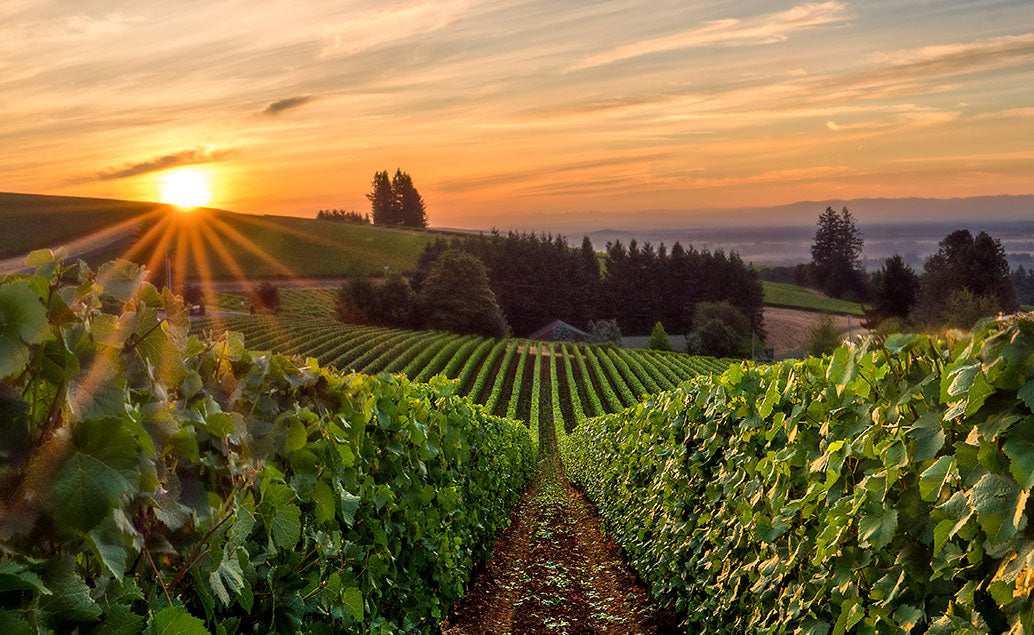 row of vineyards under sunset