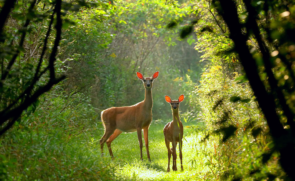 two deers staring at camera