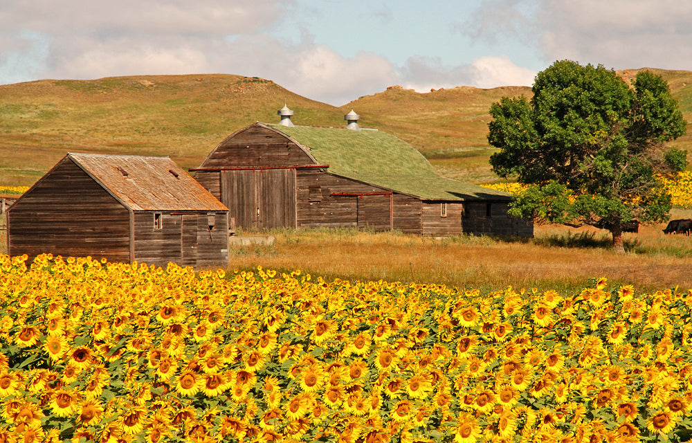 two wooden barns in front of sunflower field