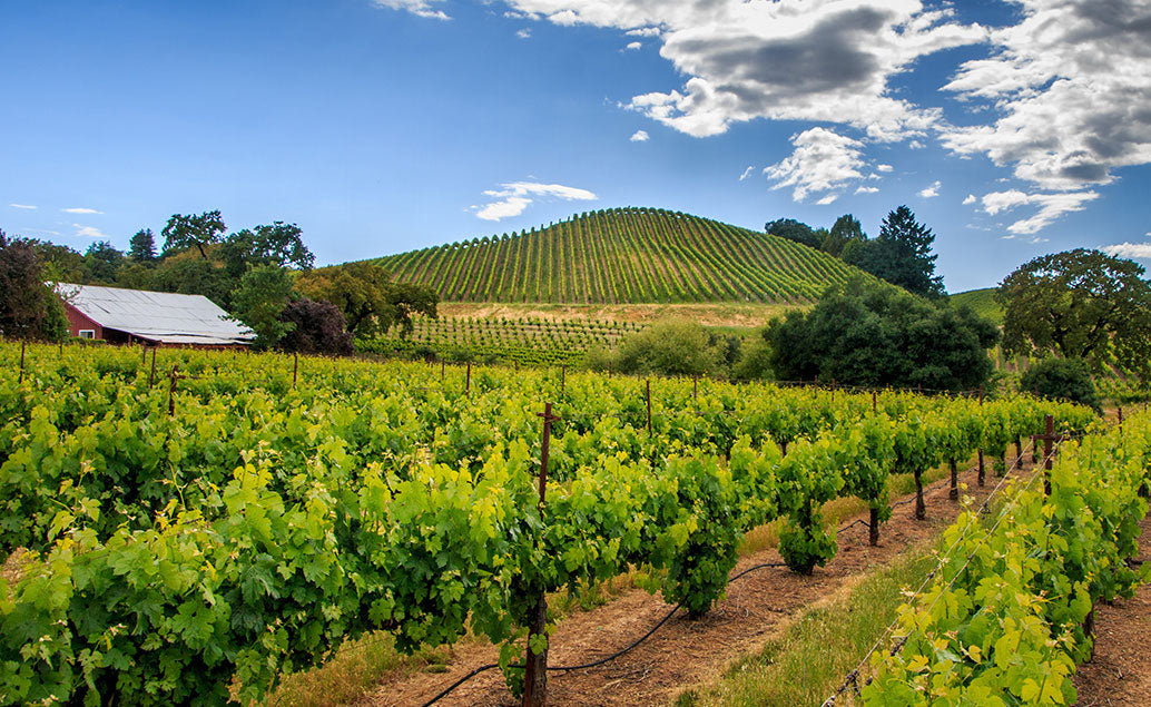 vineyards on hill and on field