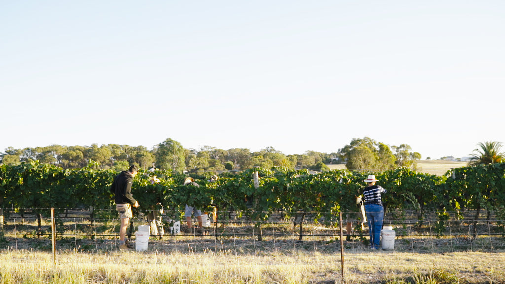 People handpicking grapes in vineyard
