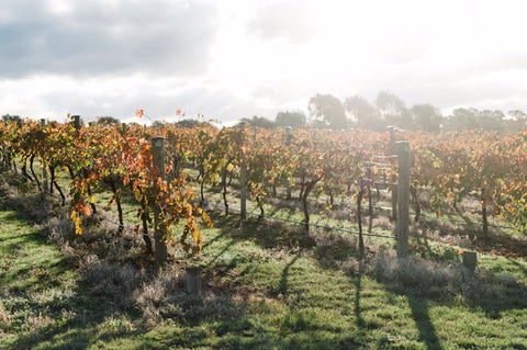 Scion's autumn vineyard