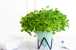 Radish Microgreens Self-Watering Indoor Soilless Garden Kit in Green - House of Aster
