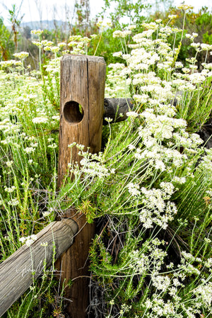 White Flowers Along Fence Posts
