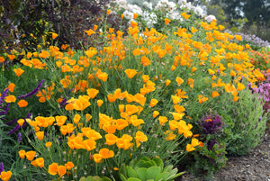 California Poppies and Purple Sage