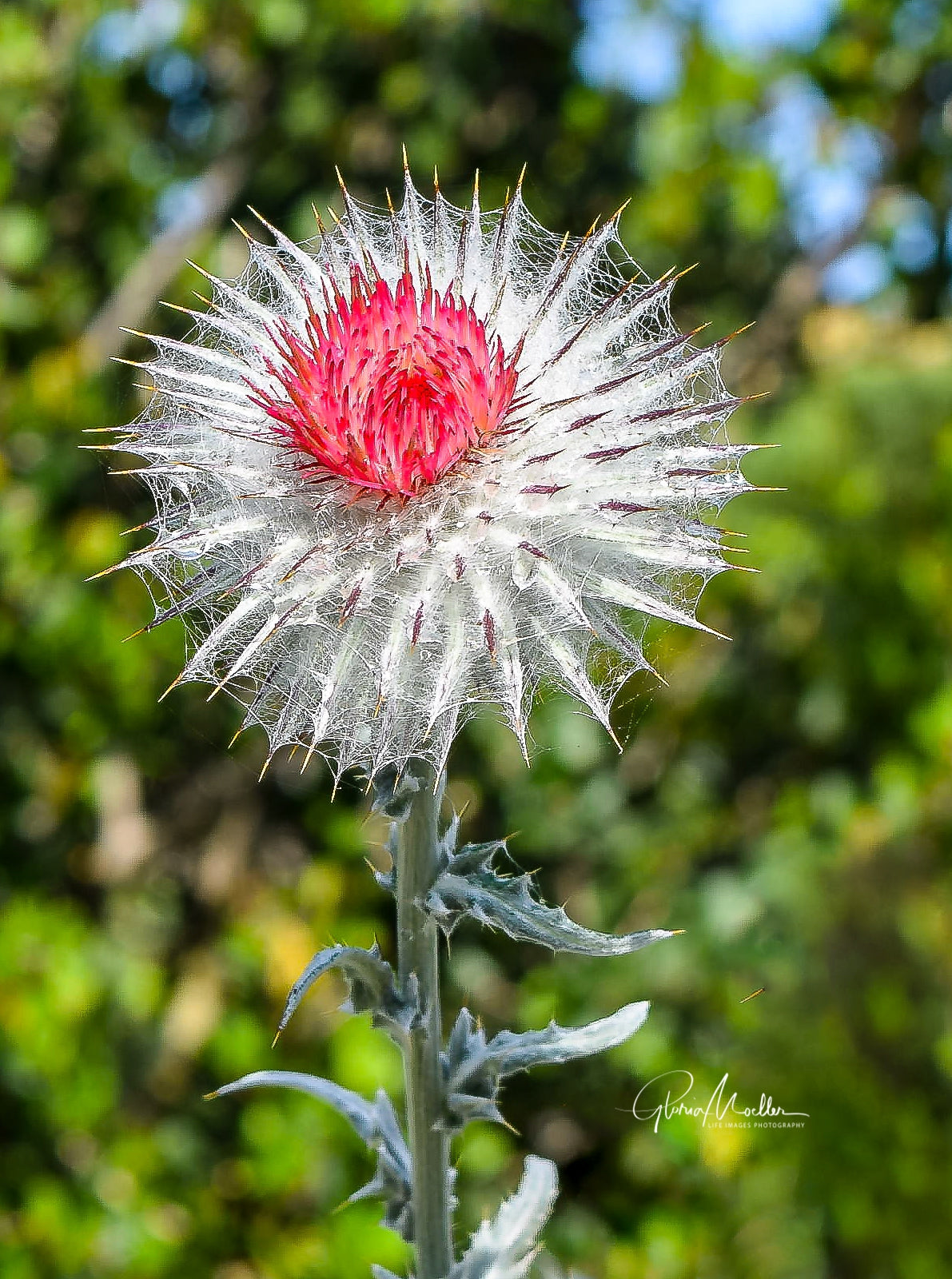 Dried Red Thistle Bloom