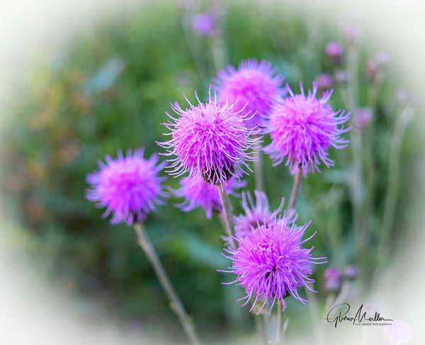 Purple Thistle Blooms