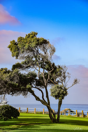 Tree Just After Sunrise in La Jolla