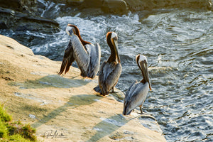 Three Pelicans in the Afternoon Sun