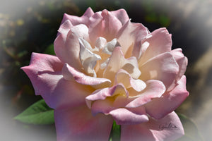 Sunlit Barbara Bush Rose